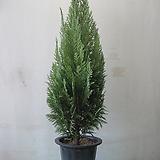 유럽편백나무,화이트스팟,특대품C1901-전국 노지월동,굵은목대,동일품배송,무료배송|