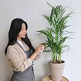 아레카야자+스트립시멘트화분(부경농원)