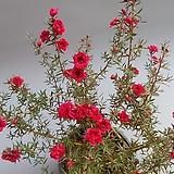 꽃대 소품-호주매/정유매|