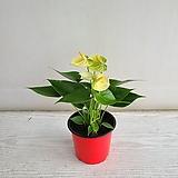 안시리움 노랑/공기정화식물/온누리 꽃농원|