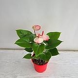 안시리움 핑크무늬/공기정화식물/온누리 꽃농원|