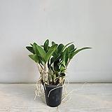 대명석곡/공기정화식물/온누리 꽃농원|