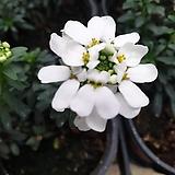 이메리스(눈꽃) 하얀꽃이 피는아이에요 (봉우리가 있어요) |Echeveria Riga