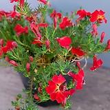중품-초연초-빨강|Echeveria cv Huthspinke
