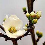 백명자나무(분재작품/A)-동일품배송|