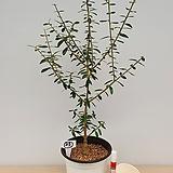 올리브나무(외목수형/27)-동일품배송|