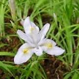 백화 히메샤가(애기붓꽃)|