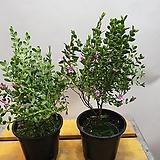사계보로니아( 한목대) 꽃이피면 향기가 가득해요|