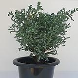 블루버드(스노우화백) 중대품  -  관상용/ 공기정화/ 반려식물 - 꽃보러가자|