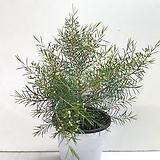 왁스 플라워|Echeveria agavoides Wax