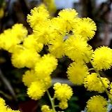 노랑자귀(노람아카시아)|