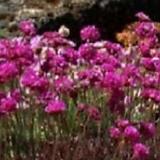 족두리꽃 노지월동