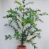 레몬유칼립투스(S2) 2020 새상품/ 로즈마리/페파민트/루꼴라/장미허브/바질/애플민트 공기정화식물