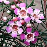 왁스플라워(꽃대 외목수형)-대품|Echeveria agavoides Wax