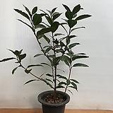 월계수나무.단품|