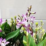 [도희씨네 정원] 사랑스러운 꽃색감 긴기아난 230|