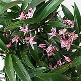 [도희씨네 정원] 봄을 고대하는 국민화초 복카시 긴기아난 240|