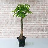 [도희씨네 정원] 휜칠한 공기정화 식물 파키라 대형 370|