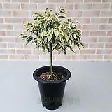 [도희씨네 정원] 따스한 잎컬러의 토피어리 칼라 벤자민 189|