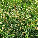 [도희씨네 정원] 솔잎모양 왁스플라워 180|Echeveria agavoides Wax