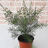 [도희씨네 정원] 파릇파릇 솔잎닮은 왁스플라워 소형 130|Echeveria agavoides Wax