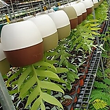 크리소카디움(거꾸리) 재입고  수입식물 |