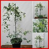 꽃과나무 ] 노랑아카시아 / 향기 / 호주국화 / 봄꽃 / 최저5도 / 호주산|