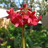 히말라야 붉은 앵초|