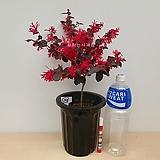자엽붉은풍년화(외목수형-22)-동일품배송|