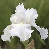 독일붓꽃 임모텔러티 저먼아이리스 (뿌리묘)|