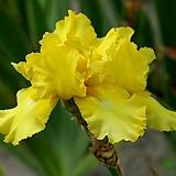 독일붓꽃 옥토버썬 저먼아이리스 (뿌리묘)|