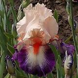 독일붓꽃 슈발리에드말테 저먼아이리스 (뿌리묘)|