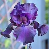 독일붓꽃 나이트아울 저먼아이리스 (뿌리묘)|