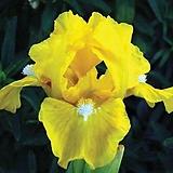 독일붓꽃 미니종 캐시오브골드 저먼아이리스 (뿌리묘)|