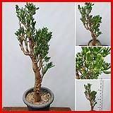 꽃과나무 ] 우주목 / 다육 / 공기정화 / 전자파방지 / 반양지 / 최저5도 / 남아프리카산|Crassula obliqua Gollum