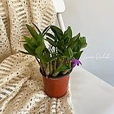 (꽃대없음) 미니 긴기아눔 (덴드로비움 긴기아눔 x 덴드로비움 실코키 Den. kingianum x Den. silcockii)