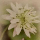 (완전 희소종)겹꽃 매화황연|