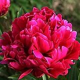 네덜란드 작약  18. 칼 로젠필드(Karl Rosenfield) 포트 / 유럽작약 / 작약 꽃 / 작약 뿌리 / 작약 숙근 / 겹작약 / 함박꽃 /|