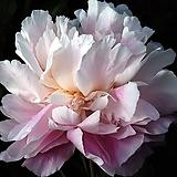 네덜란드 작약  20. 마담 에드워드 도리앗(Madame Edouard Doriat) 포트 / 유럽작약 / 작약 꽃 / 작약 뿌리 / 작약 숙근 / 겹작약 / 함박꽃 /|