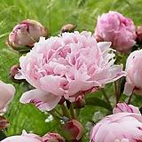 네덜란드 작약  27. 사라 베른하르트(Sarah Bernhardt) 포트 / 유럽작약 / 작약 꽃 / 작약 뿌리 / 작약 숙근 / 겹작약 / 함박꽃 /|