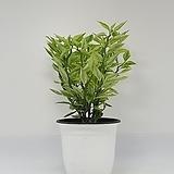 화은룡(천국의계단) 중품 - 공기정화 / 식용식물 / 인테리어 - 꽃보러가자|