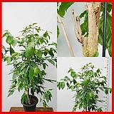 꽃과나무 ] 커피나무 / 대품 / 유실수 / 음지식물 / 관리 쉬움 / 최저15도 / 아프리카산|