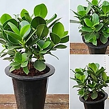 꽃과나무 ] 크루시아 / 관엽 / 공기정화 / 양지식물 / 최저15도 / 카리브제도산|Echeveria Lucy