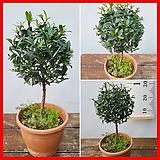 꽃과나무 ] 피어리스 / 관엽 / 외목대  / 양지식물 / 최저5도 / 호주산|Echeveria Fiona