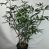 대나무야자|