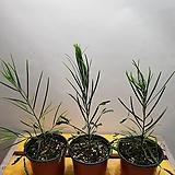 가는잎아카시아( 플로리번다) 새로입고|