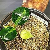 무늬동백 금수저|variegated