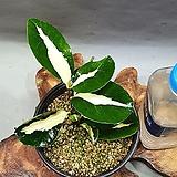 무늬동백 청옥|Sedum burrito