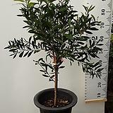 병솔나무|
