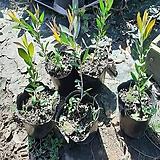 병솔나무(3치반포트묘)5주|